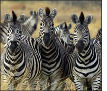 content downloader - зебры